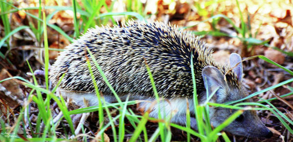 Photograph - A Hedgehog Searching For Food by Augusta Stylianou