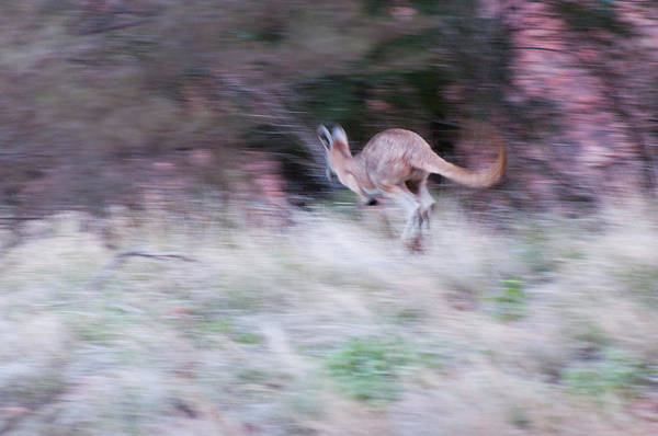 Skippy Wall Art - Photograph - A Kangaroo Escaping In The Bush by Davide Devecchi