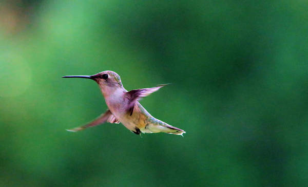 Little Things Photograph - A Little Hummer by Jeff Swan
