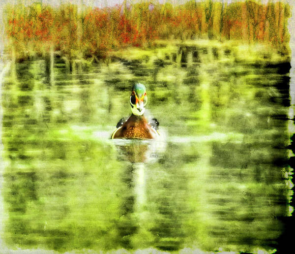 Digital Art - A Male Wood Duck Swimming Alone,looking At The Camera by Rusty R Smith