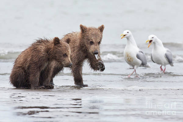 Grizzly Bear Photograph - A Noisy Challenge by Richard Garvey-Williams