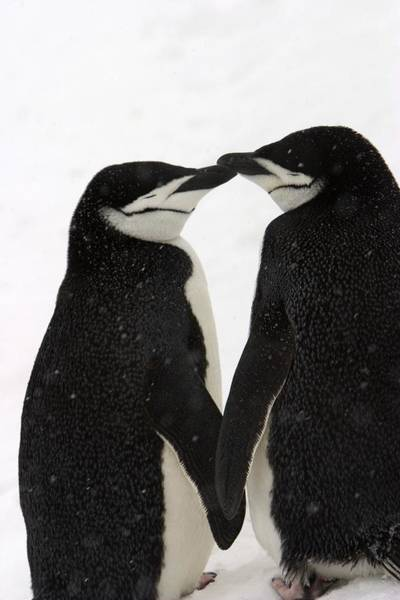 Courtship Photograph - A Pair Of Chinstrap Penguins by Ralph Lee Hopkins