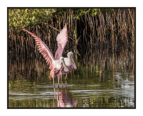 Photograph - A Pair Of Spoonbills by Dorothy Cunningham