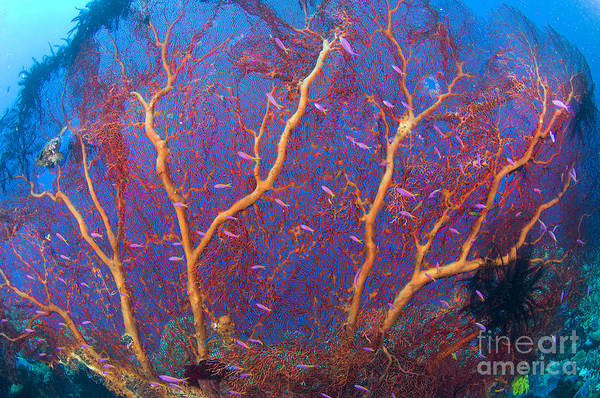 Kimbe Bay Wall Art - Photograph - A Red Sea Fan With Purple Anthias Fish by Steve Jones