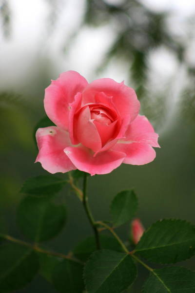 Photograph - A Rose By Any Other Name by David Dunham