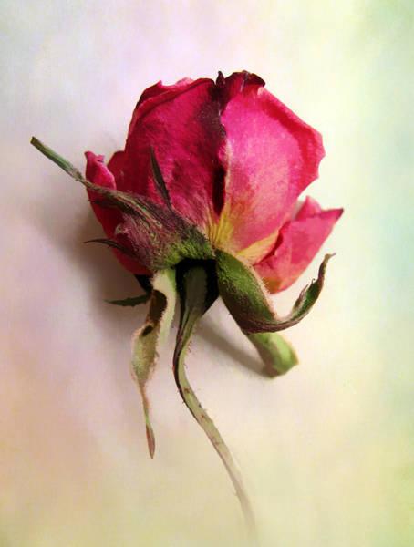 Wall Art - Photograph - A Single Rose by Jessica Jenney