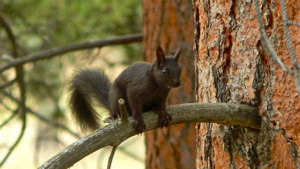 Photograph - Abert's Squirrel by Dan Miller