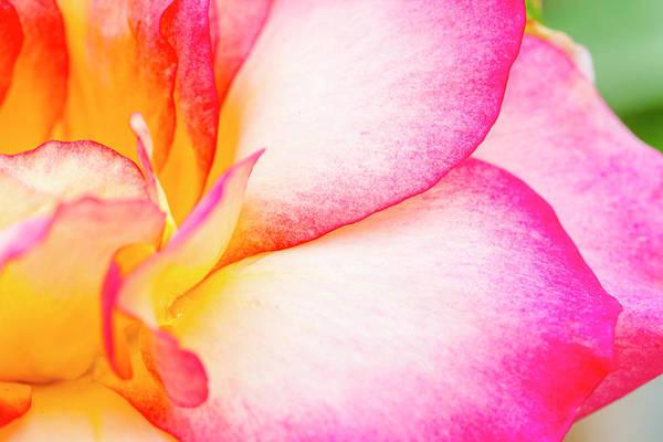 Photograph - Abstract Rose Petals by Teri Virbickis