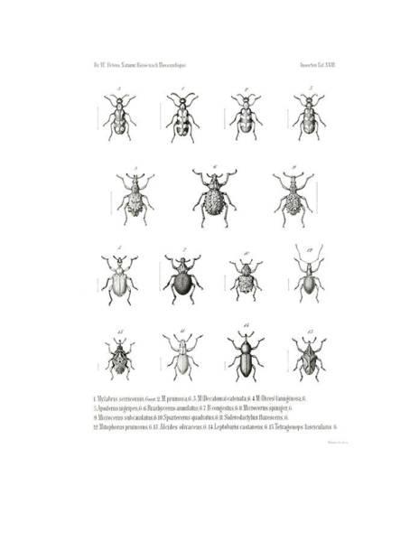 Drawing - African Beetles by Bernhard Wienker
