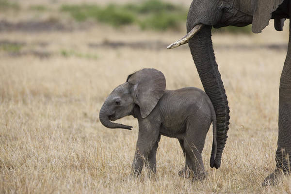 Photograph - African Elephant Mother And Under 3 by Suzi Eszterhas