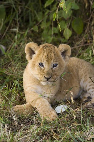 Photograph - African Lion 5 Week Old Cub Masai Mara by Suzi Eszterhas