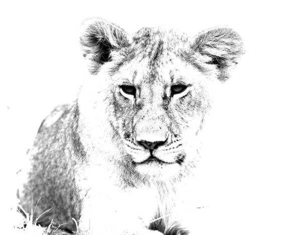 Photograph - African Lion by Aidan Moran
