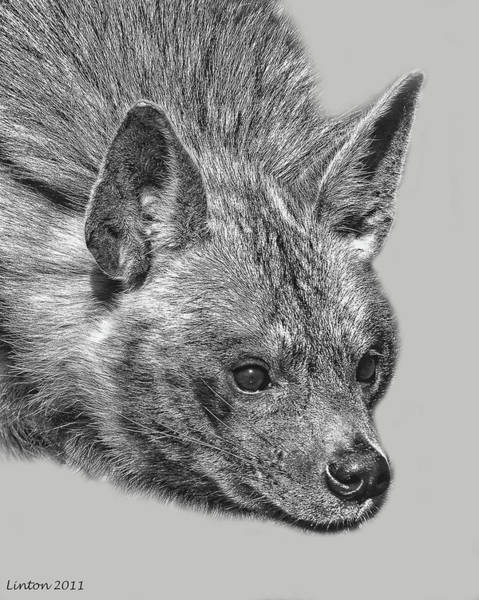 Digital Art - African Striped Hyena by Larry Linton