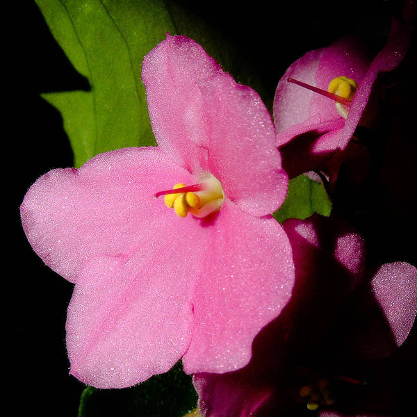 Photograph - African Violet by Michael Smith-Sardior