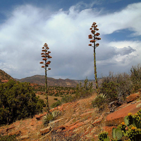 Photograph - Agaves At Robbers Roost by Michael Smith-Sardior