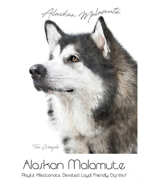 Digital Art - Alaskan Malamute Poster by Tim Wemple