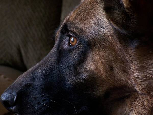 Photograph - Alert - German Shepherd Dog by Angie Tirado