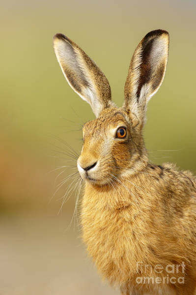 Photograph - All Ears by Simon Litten