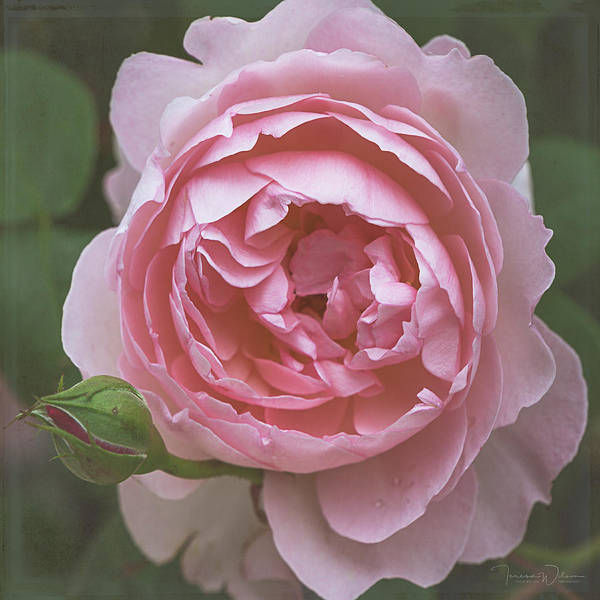 Photograph - Alnwick Rose 1830 by Teresa Wilson