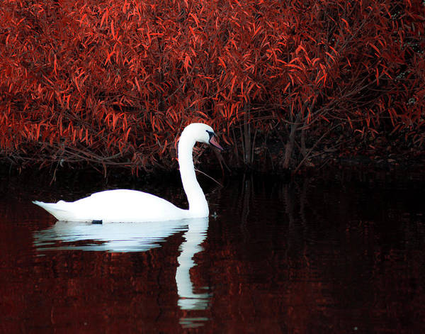 Swan Photograph - Along The Shores Of Avalon by Ron  McGinnis