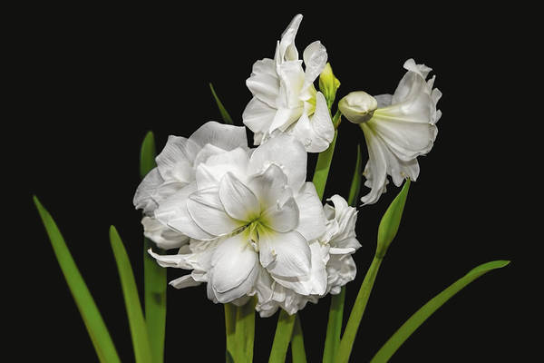 Photograph - White Amaryllis by Kay Brewer