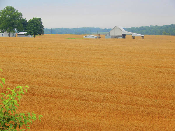 Photograph - Amber Waves Of Grain by Tina M Wenger