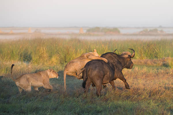 Botswana Photograph - Ambush by Giulio Zanni