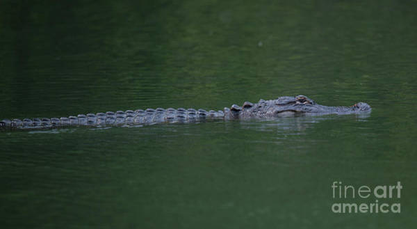 Photograph - American Alligator On The Hunt by Dale Powell