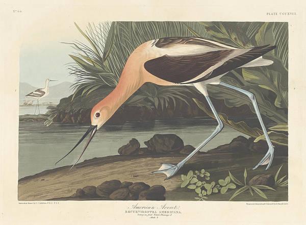 Painting - American Avocet by John James Audubon