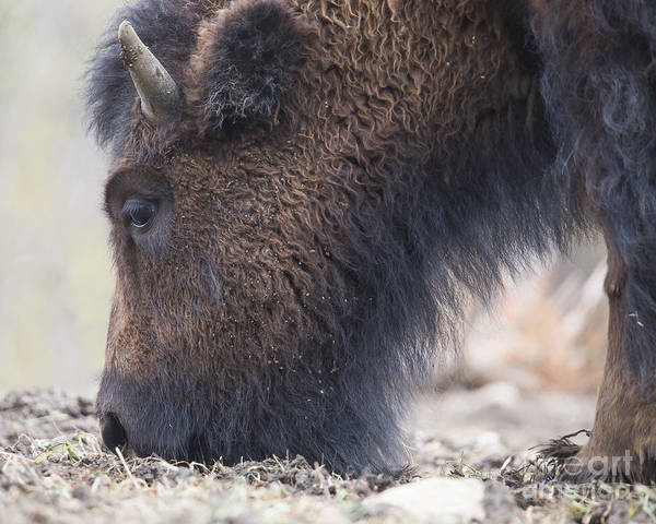 Wall Art - Photograph - American Bison by Twenty Two North Photography