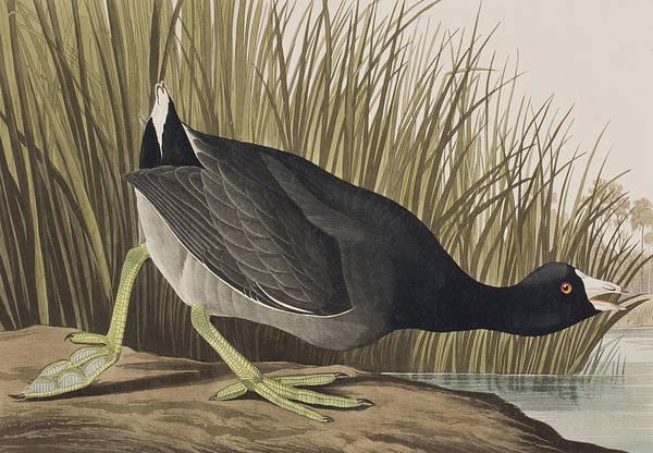 Wetland Drawing - American Coot by John James Audubon