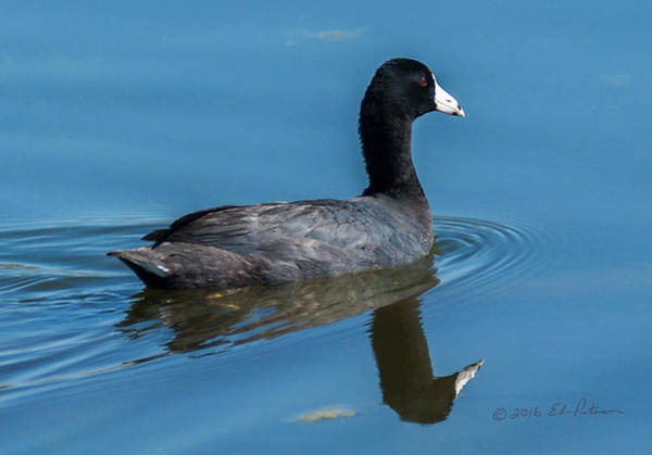 Photograph - American Coot Swiming by Edward Peterson