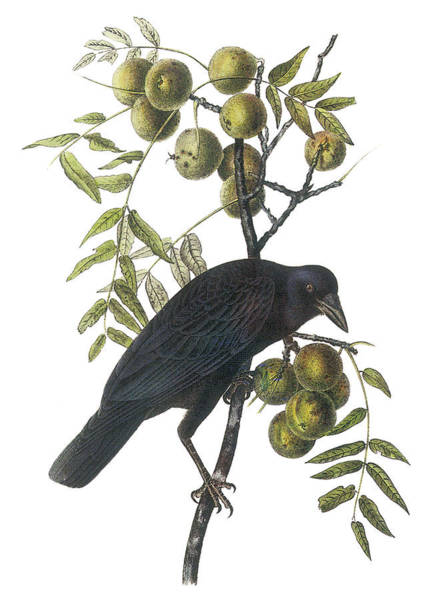 Audubon Painting - American Crow by John James Audubon