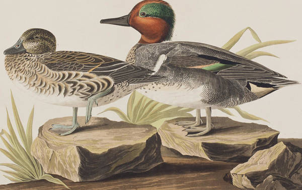 Fowl Painting - American Green-winged Teal by John James Audubon