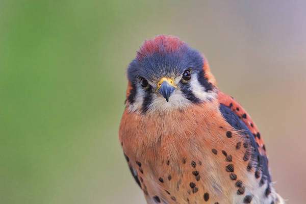 Photograph - American Kestrel by Brian Cross