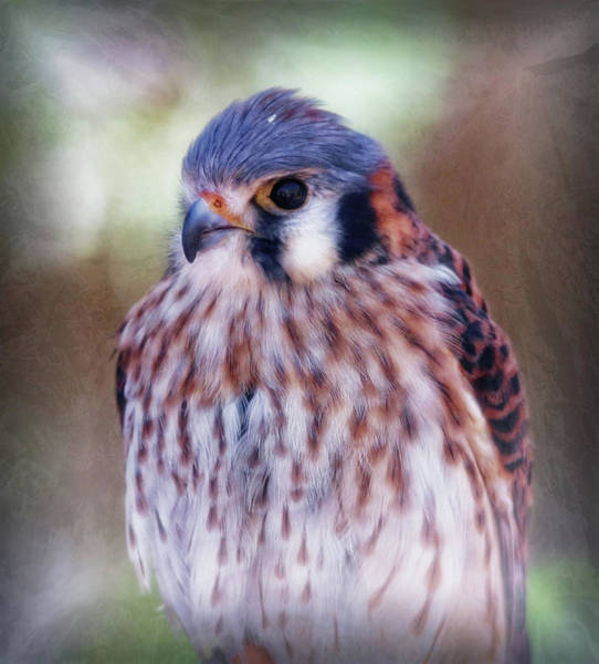 Photograph - American Kestrel by Elaine Malott