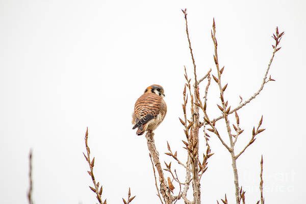 Photograph - American Kestrel by Spencer Baugh