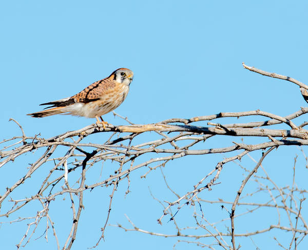 Photograph - American Kestrel by Tam Ryan