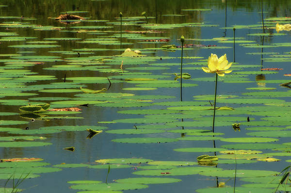 Wall Art - Photograph - American Lotus by Rich Leighton