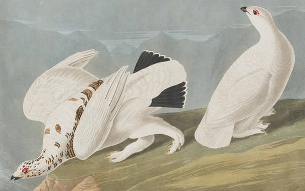 Wall Art - Painting - American Ptarmigan by John James Audubon
