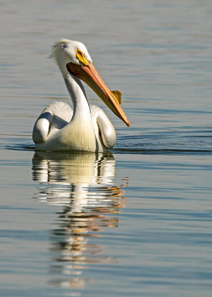 Wall Art - Photograph - American White Pelican by Dawn Key