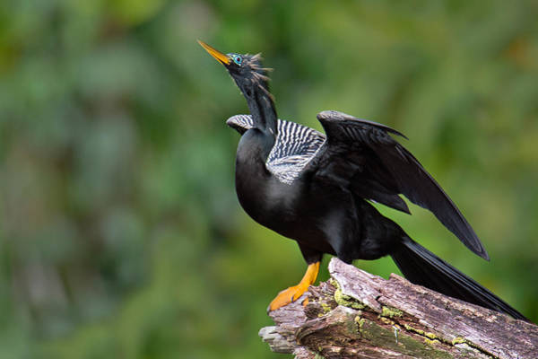 Anhinga Photograph - Anhinga Anhinga Anhinga Perching by Panoramic Images