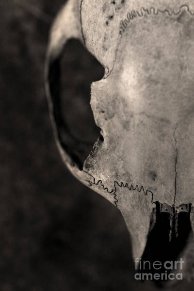 Photograph - Animal Skull by Clayton Bastiani