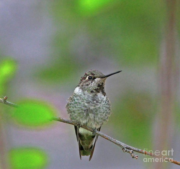 Hummingbird Wall Art - Photograph - Anna's Hummingbird by Gary Wing
