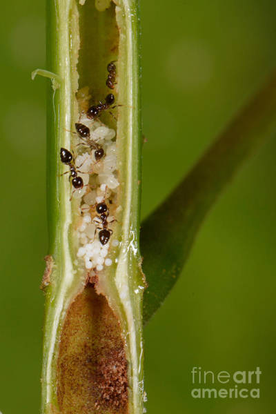 Photograph - Ant Plant With Ants by Francesco Tomasinelli