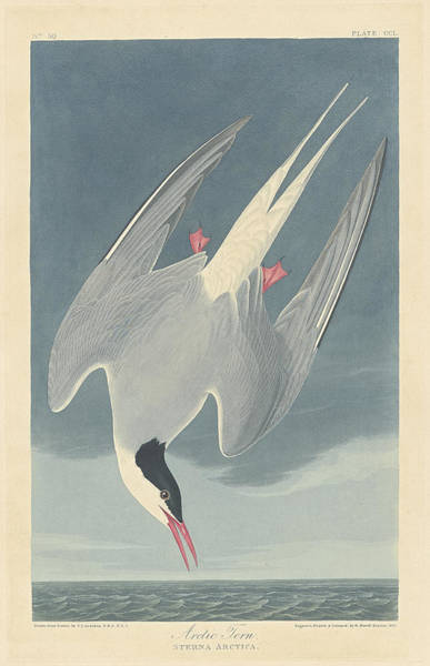 Painting - Arctic Tern by John James Audubon
