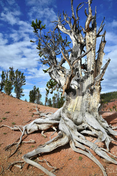 Photograph - Ashdown Gorge Bristlecone by Ray Mathis