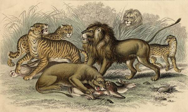 Bengal Tiger Drawing - 1. Asiatic Lion. 2. Lioness. 3.bengal by Vintage Design Pics