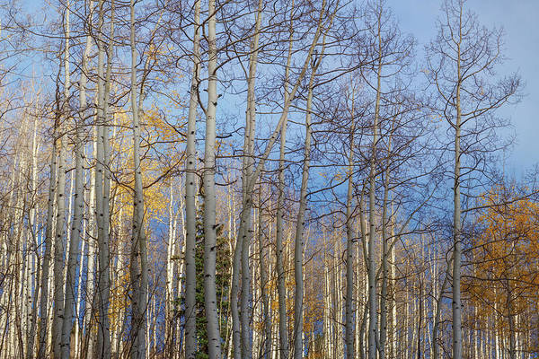 Photograph - Aspen Grove - 2 by OLena Art Brand