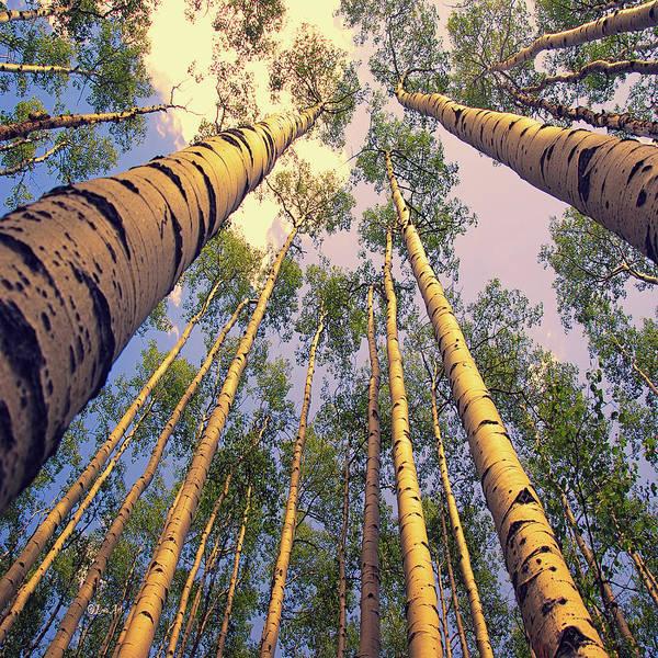 Digital Art - Aspen Trees Against Sky by OLena Art Brand